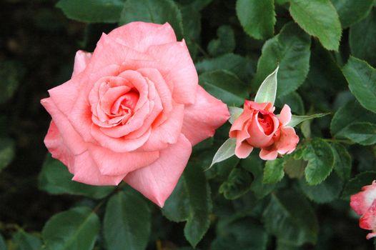 Фото бесплатно роза, цветок, флора