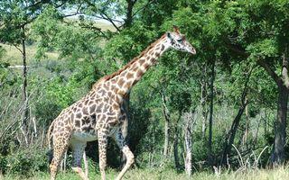 Фото бесплатно жираф, шея, морда