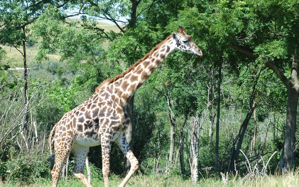 Free photo giraffe, neck, muzzle - to desktop