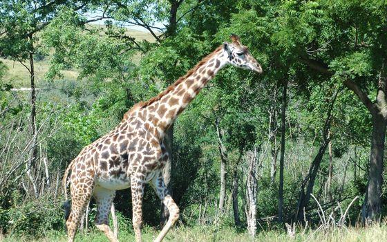 Photo free giraffe, neck, muzzle