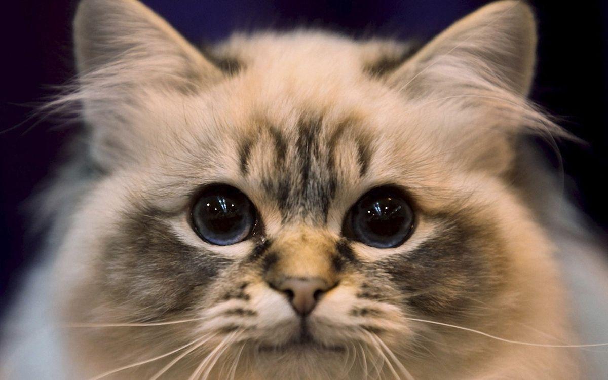 Обои кот, морда, глаза, уши, усы, шерсть картинки на телефон
