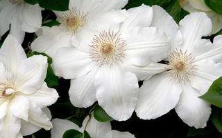 Фото бесплатно лепестки, белые, пестики