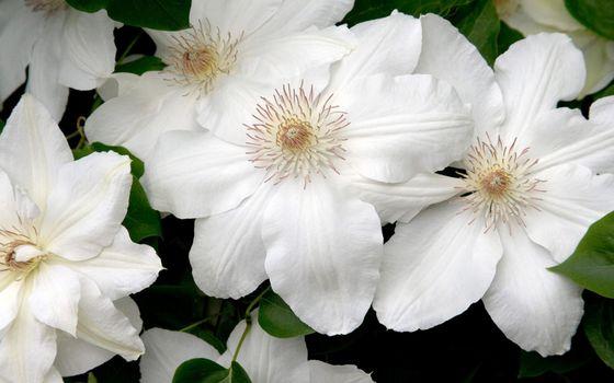 Photo free petals, white, pistils