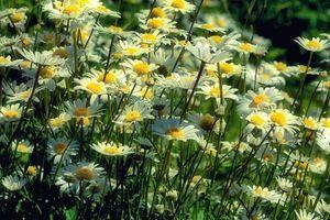 Заставки поле,ромашки,цветы,флора
