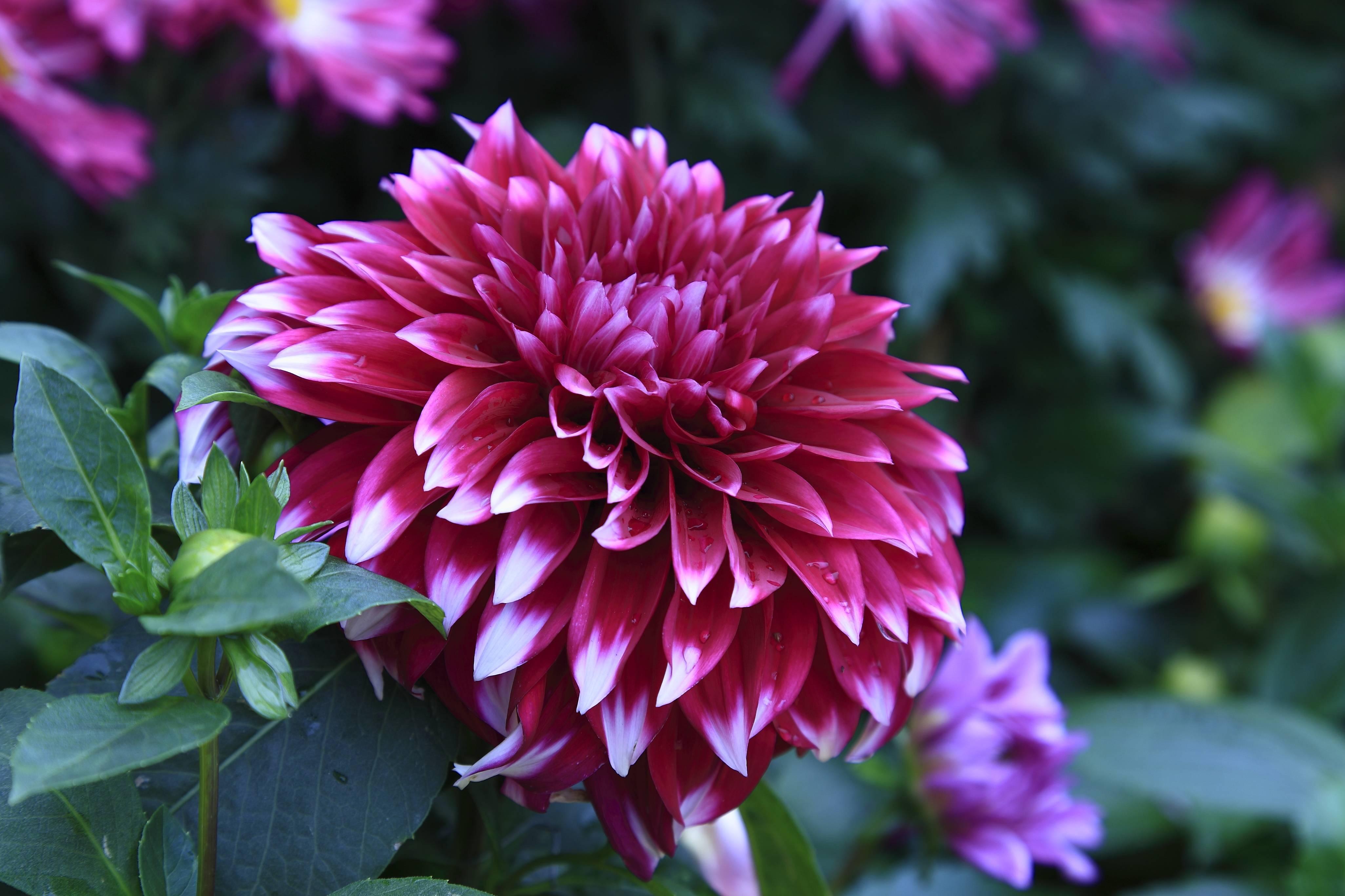 цветок, цветы, георгин