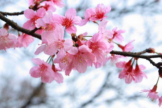Photo free sakura, sakura branches, pink flowers