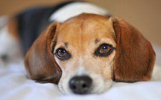 Фото бесплатно пес, морда, глаза, уши, шерсть
