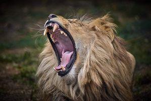 Бесплатные фото лев,хищник,зев,клыки,зубы,пасть