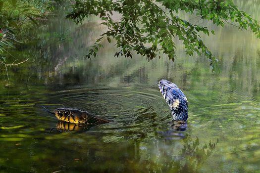 Фото бесплатно водоём, ужи, змеи