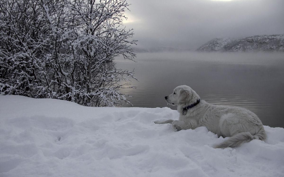 Фото бесплатно зима, собака, белая - на рабочий стол