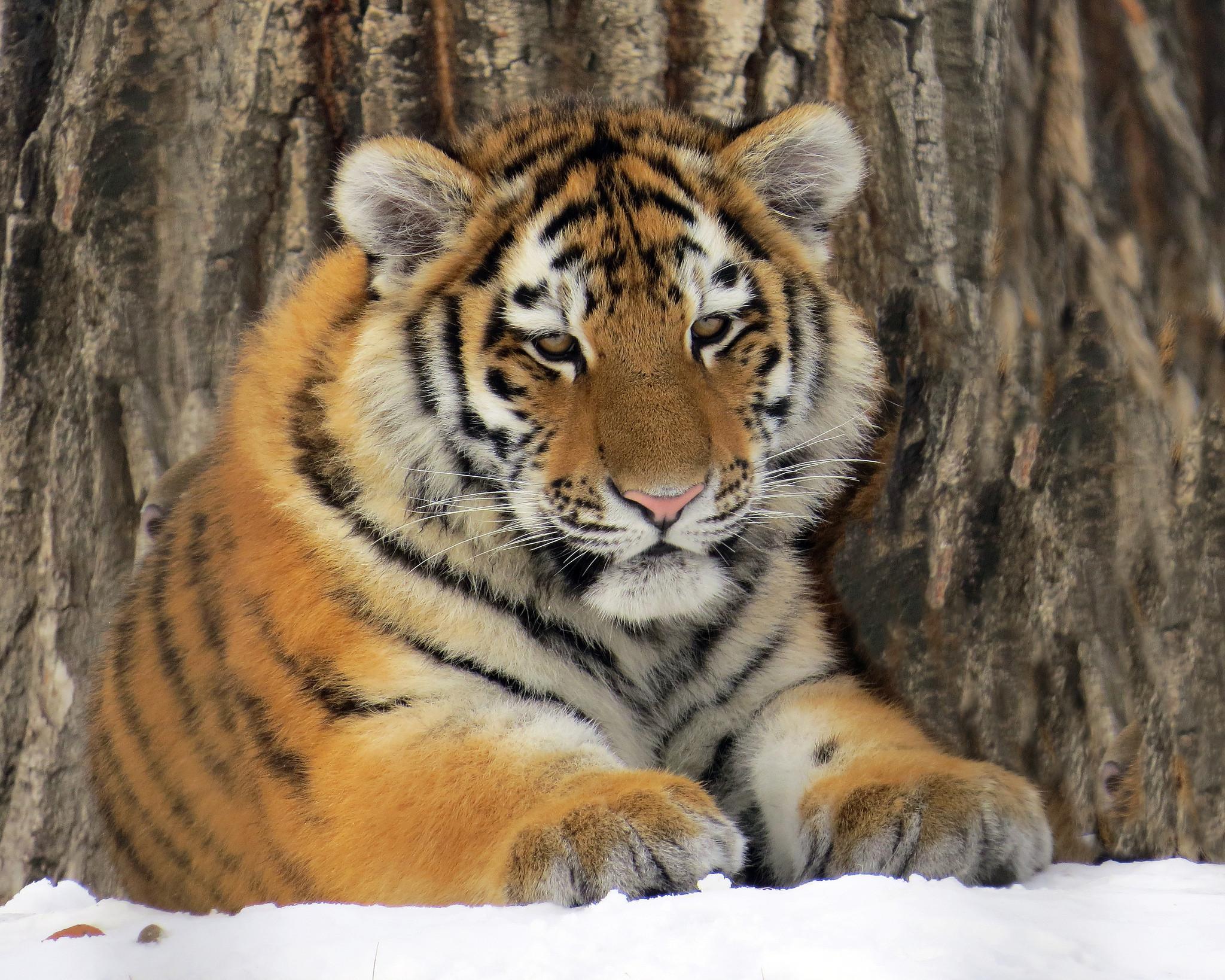 обои Amur Tiger, тигр, хищник, животное картинки фото