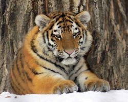 Заставки Amur Tiger, тигр, хищник