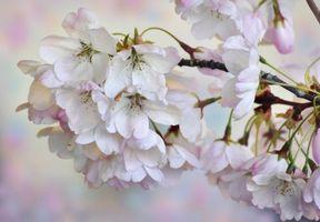 Фото бесплатно Цветущая сакура, флора, цветок