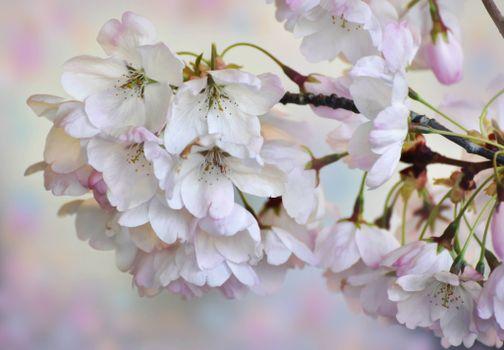Фото бесплатно цветок, цветы, флора, Cherry Blossoms