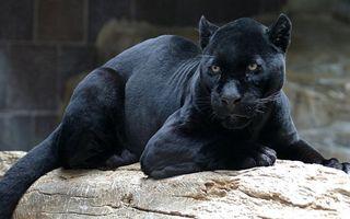 Фото бесплатно пантера, черная, морда