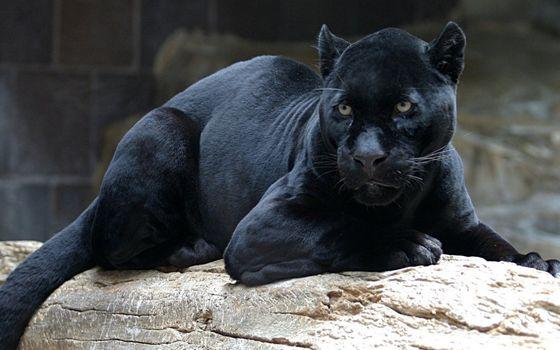 Photo free panther, black, muzzle
