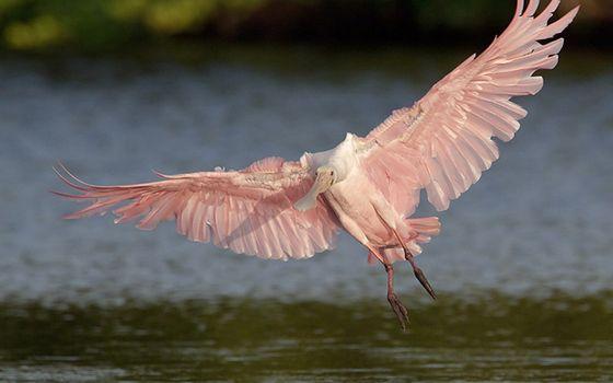 Заставки колпица, розовая, полет