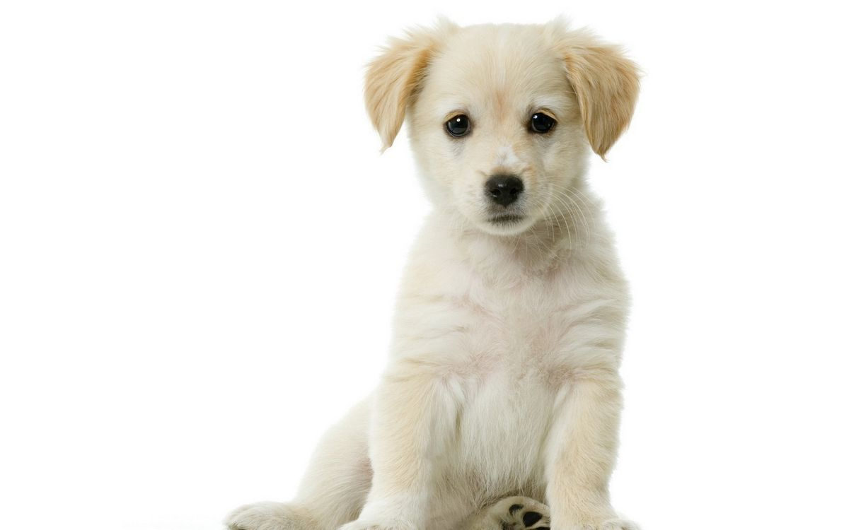 Фото бесплатно щенок, белый, шерсть, морда, уши, лапы, собаки