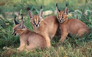 Бесплатные фото каракалы,котята,рыси,морды,уши,кисточки,шерсть