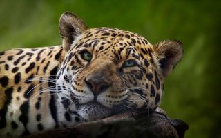 Бесплатные фото леопард, отдых, мечтатель