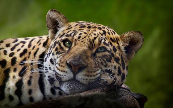 Фото бесплатно леопард, отдых, мечтатель