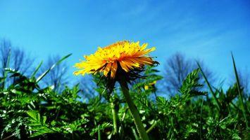 Бесплатные фото цветок,одуванчик,желтый,небо,трава,цветы