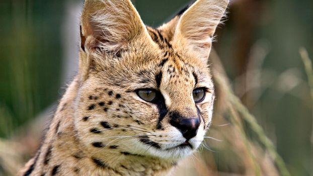Фото бесплатно рысь, шерсть, пятнышки, глаза, нос, рот, усы, уши, язык, животные