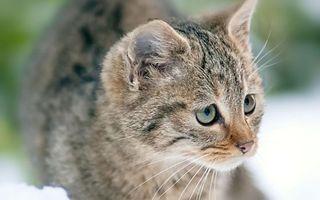 Заставки кошка, морда, усы