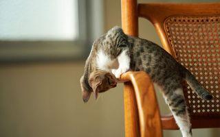 Фото бесплатно кот, стул, поза