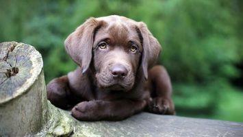 Фото бесплатно лабрадор, шоколадный, щенок