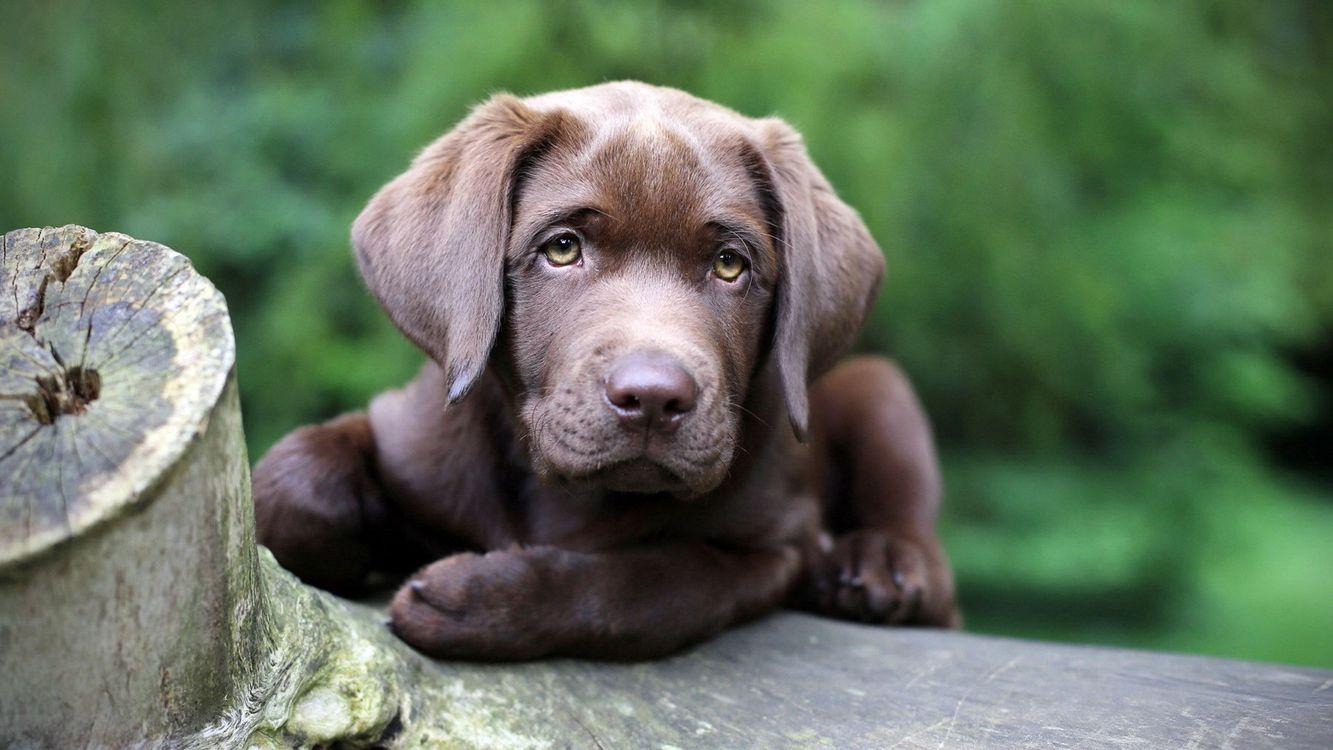 Фото бесплатно лабрадор, шоколадный, щенок, уши, глаза, морда, лапы - на рабочий стол