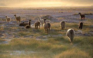 Заставки ламы, поле, пасутся