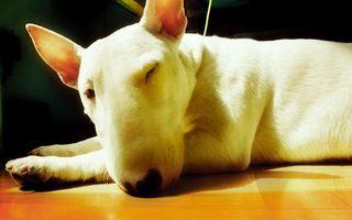 Бесплатные фото пес,щенок,порода,лапы,уши,глаза,нос