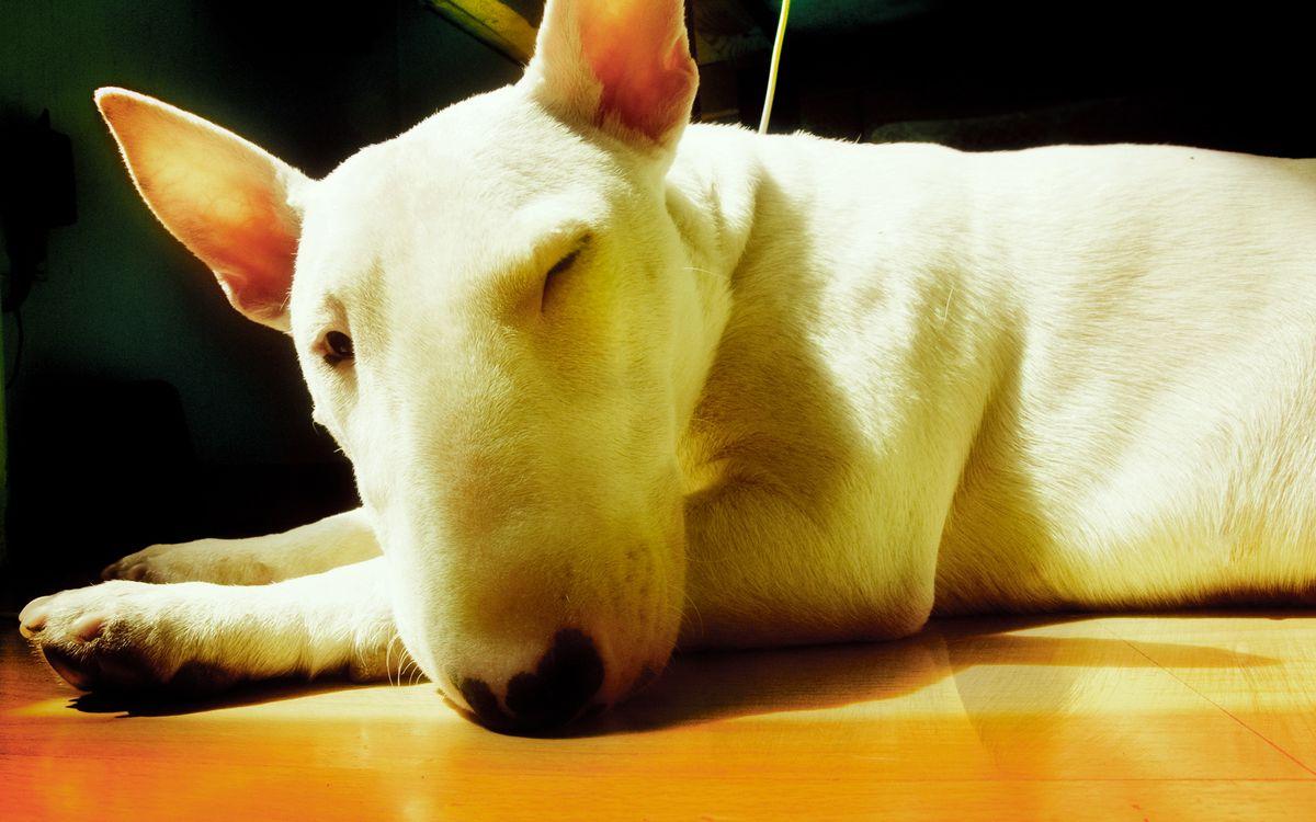 Фото бесплатно пес, щенок, порода, лапы, уши, глаза, нос, усы, шерсть, окрас, белый, собаки, собаки