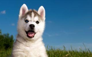 Заставки хаски, щенок, уши