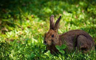 Заставки заяц,серый,шерсть,уши,дикий,зверь,зверек