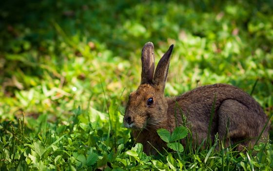 Photo free hare, gray, wool