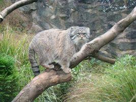 Фото бесплатно манул, кішка, дерево, животные, кошки