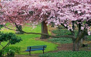 Бесплатные фото цветущая вишня,деревья,природа,лавочка,сакура,парк