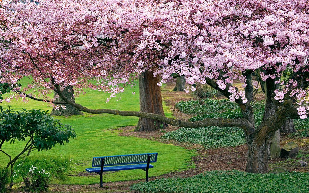 Фото бесплатно цветущая вишня, деревья, природа - на рабочий стол