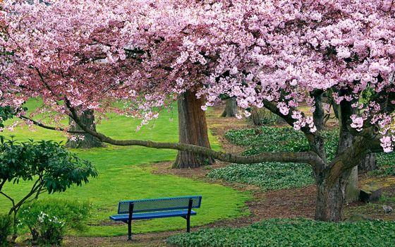 Заставки цветущая вишня,деревья,природа,лавочка,сакура,парк