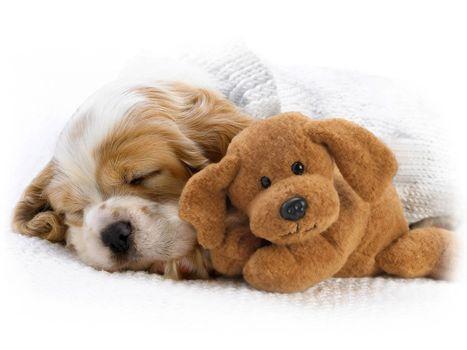 Фото бесплатно щенок, игрушка, мишка