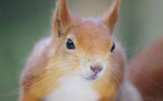 Фото бесплатно белка, глаза, уши