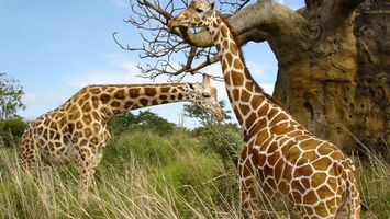 Photo free Giraffes, animals, wood