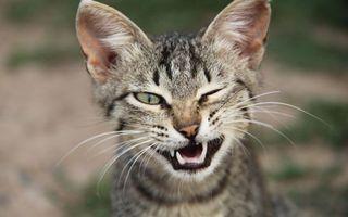 Фото бесплатно котенок, подмигивает, зубы