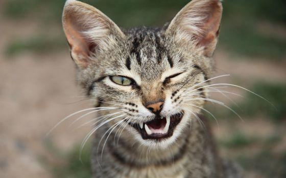 котенок, подмигивает, зубы, клыки, усы
