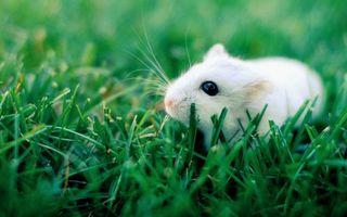 Фото бесплатно крыса, трава, глаза