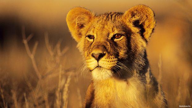 Фото бесплатно левення, африка, саванна, смотрит, хишник, степь, животные, кошки