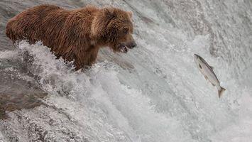 Заставки медведь, пасть, рыба