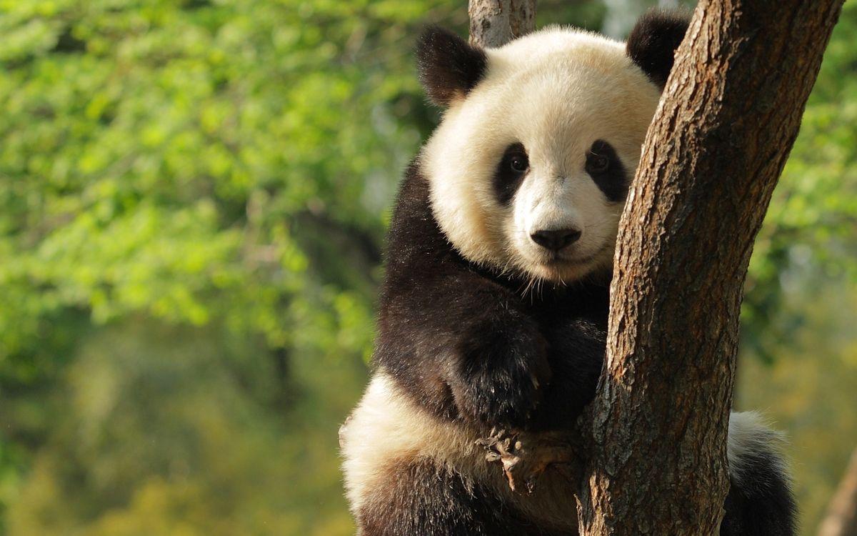 Фото бесплатно панда, зверь, пушистый, шерсть, окрас, дикий, дерево, лес, заросли, листья, животные, животные